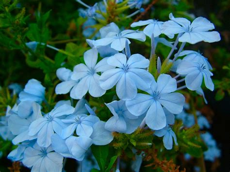 blue flowering shrub a guide to adding blue flowering plants to your garden