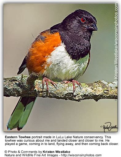 eastern towhees beauty of birds