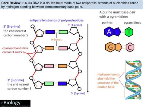 Section 10 2 Review Dna Structure by Bioknowledgy 7 1 Dna Structure And Replication Ahl