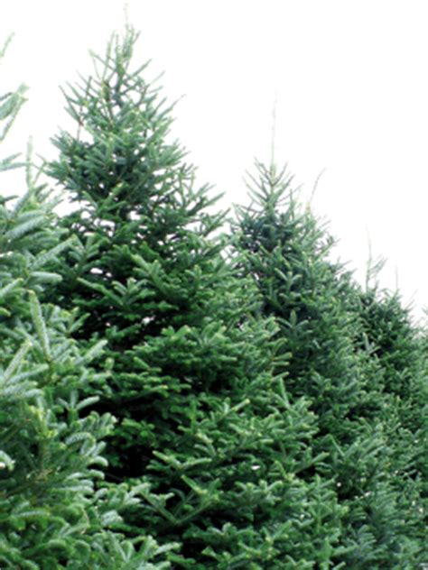living christmas trees go green plant a memory central