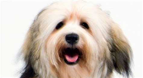 akc rules for giving a havanese a hair cut 22 best havanese images on pinterest dog breeds