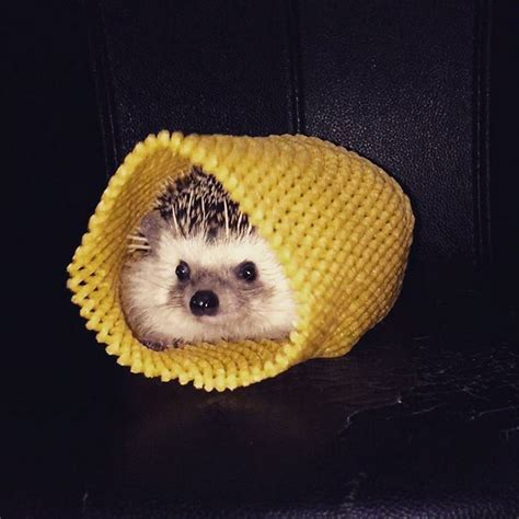 the cutest 20 of the cutest hedgehog pictures you ll see on hedgehog day