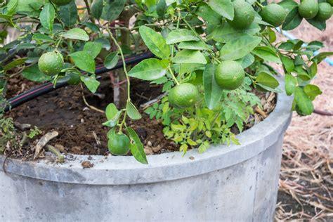agrumi in vaso agrumi in vaso le cure da riservare loro durante l inverno