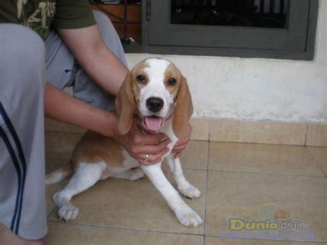 Jual Kandang Pagar Anjing Surabaya dunia anjing jual anjing beagle beagle betina stambom