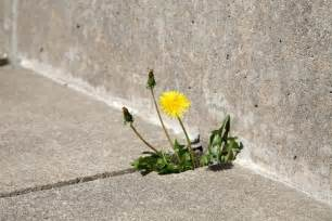 how to kill weeds on patio how to kill weeds with baking soda patio