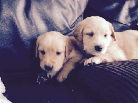 golden retriever for sale golden retriever puppies for sale taunton somerset pets4homes