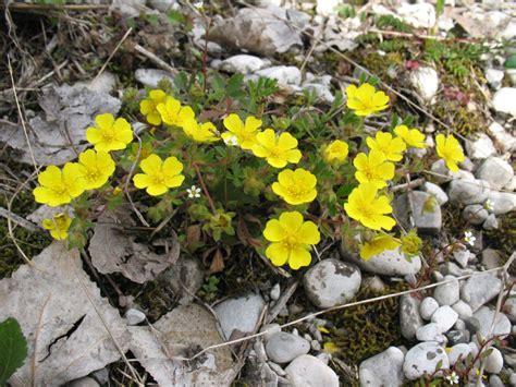 pianta dai fiori gialli piantina dai fiori gialli forum natura mediterraneo