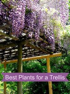 Best Vines For Pergola by Best Plants For A Trellis