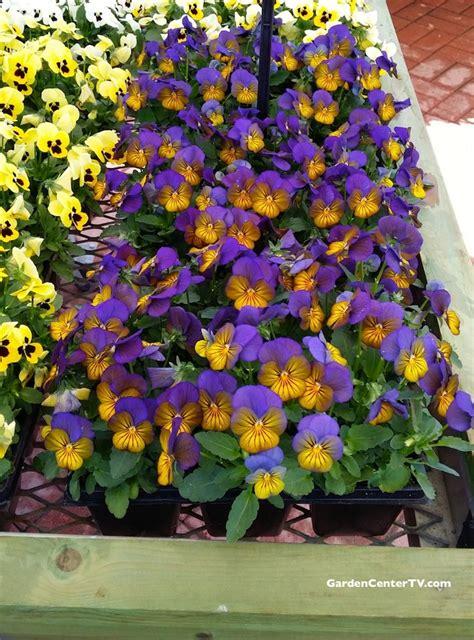 edible flower garden purple yellow viola flowers edible flowers gardencentertv