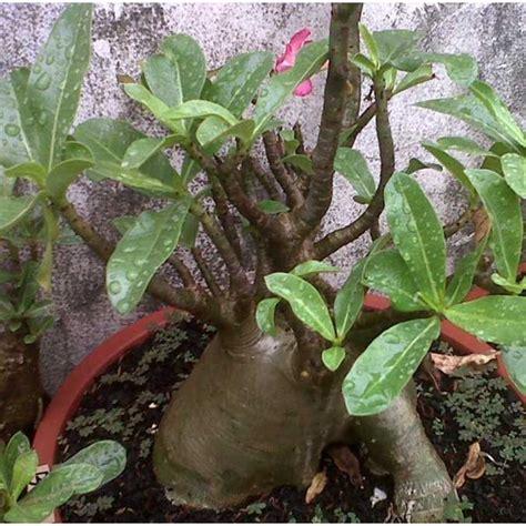 A1 Teh Hijau Sumatera jual arabicum black size a oleh anisa adenium nursery di bekasi timur