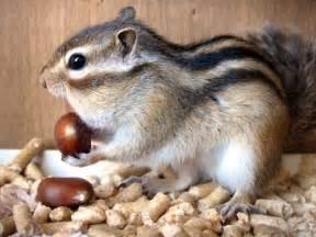 scoiattolo alimentazione l alimentazione tamia pets