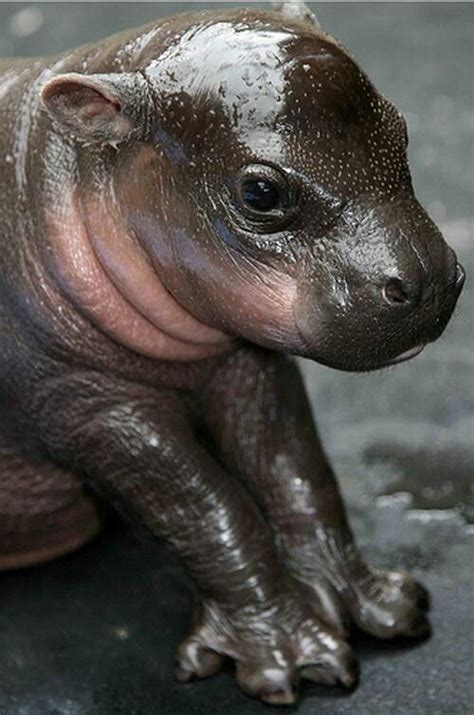 Hippo Top 1 17 best images about hippos on home the babys and baby hippo