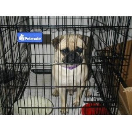 pug breeders florida loparr kennel pug breeder in dunnellon florida