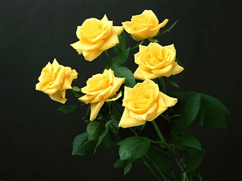 desktop wallpaper yellow roses wallpapers yellow rose wallpapers