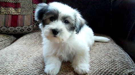 coton de tulear puppy beautiful coton de tulear puppy sleaford lincolnshire pets4homes