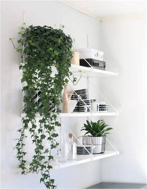 indoor vine 11 best indoor vines and climbers you can grow easily in
