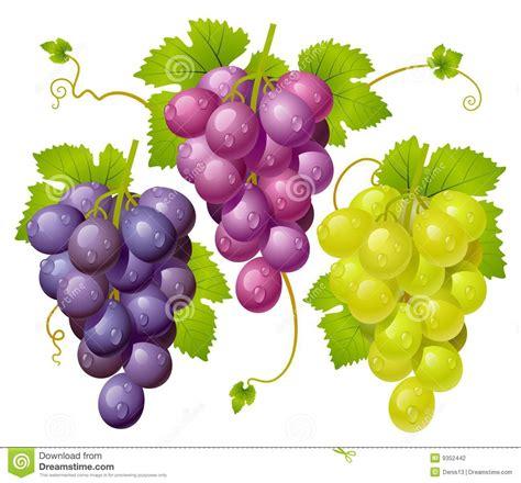 imagenes de uvas vector racimo tres de uvas ilustraci 243 n del vector ilustraci 243 n de