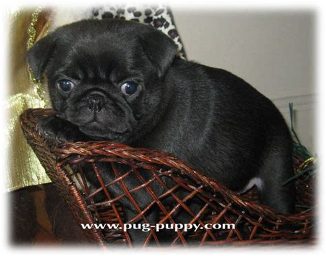 black pug puppies for adoption akc fawn black pug puppies in ma for sale adoption from saugus massachusetts essex