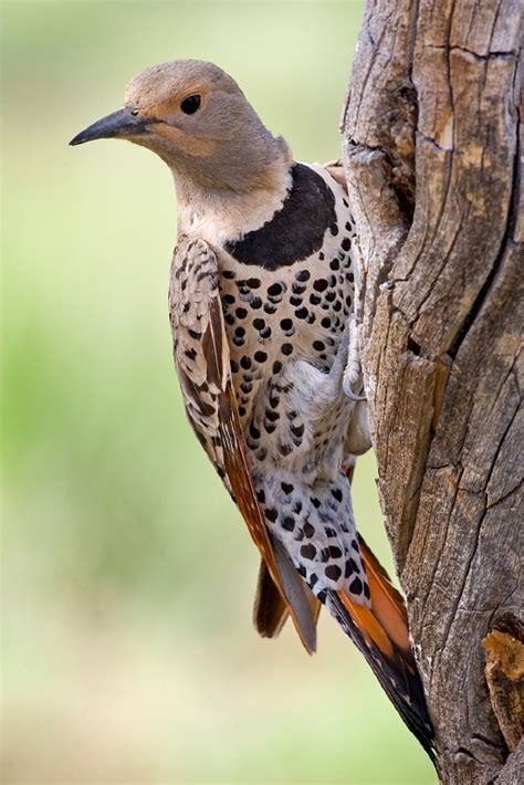 is this a polka dot woodpecker whatsthisbird