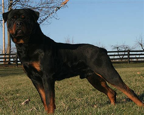 how much does a german rottweiler cost cost of a rottweiler puppy photo