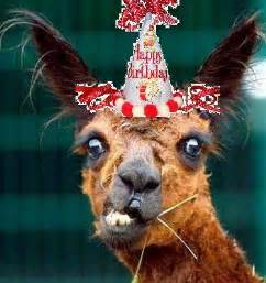 Llama Birthday Meme - birthday llama drama llamas unite
