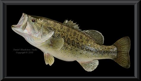 Fisch Bass by Fish Largemouth Bass Image Search Results