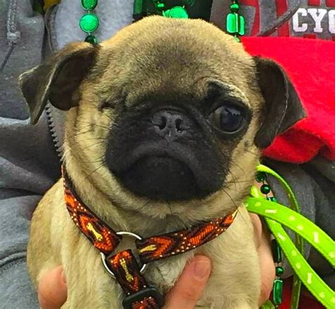 homeward bound pugs local rescue takes in and abandoned pugs asks for the s support the