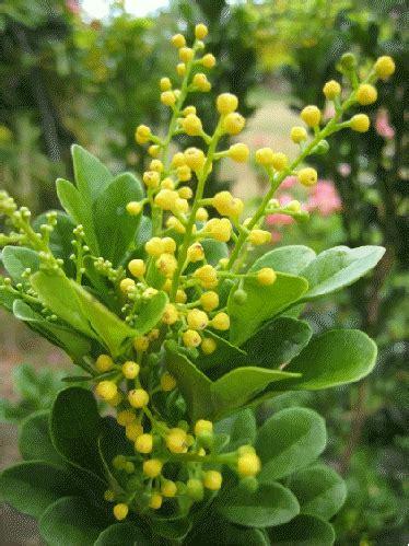 chinese perfume plant aglaia odorata buy