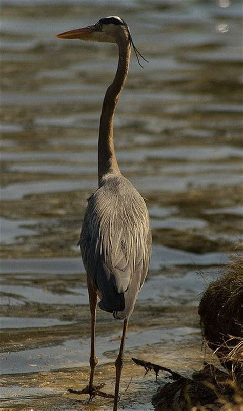 Symbolism Of The Heron Or Egret Herons Pinterest Blue Heron Meaning