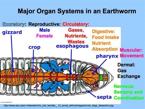 diagram of earthworm circulatory system meiosis