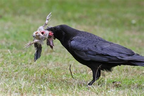 crow feeding young gulls and a fledgling jackdaw