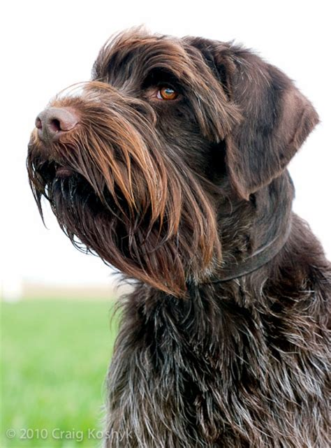 wirehaired pointing griffon puppy pointing breed of the week the wirehaired pointing griffon