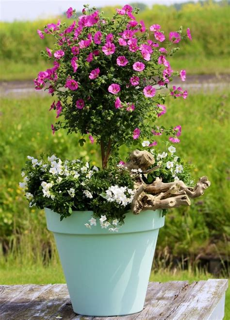 winter flowering shrubs for containers 44 best shrubs for containers best container gardening
