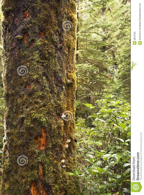 what is a tree trunk covered with 4 letters the tree trunk covered by a moss stock photo image of