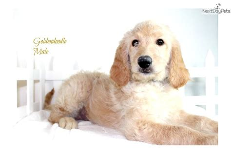 goldendoodle puppy for sale los angeles goldendoodle puppy for sale near los angeles california
