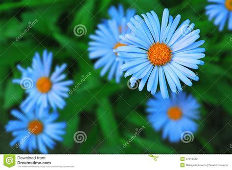 Blus Chamomile blue chamomile stock photo image of background disc 47616462