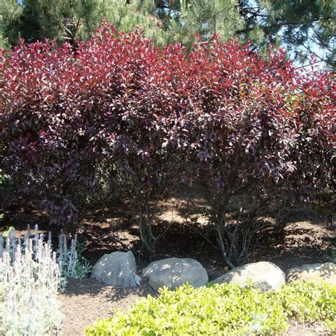 4 in 1 cherry tree home depot purpleleaf sand cherry 8 x 6 wide zones 4 7 sun the home depot 43