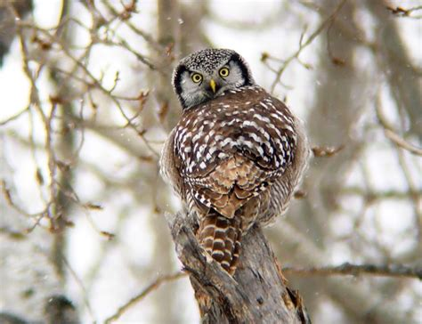 winter finches and owls latest outlook on the 2013 14