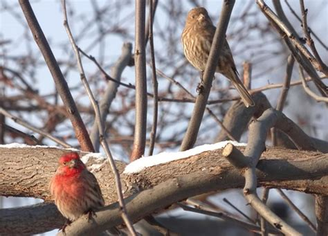 house finch care house finch care 28 images caring for zebra finches