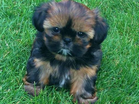 miniature imperial shih tzu tiny imperial shih tzu puppy for sale bournemouth dorset pets4homes