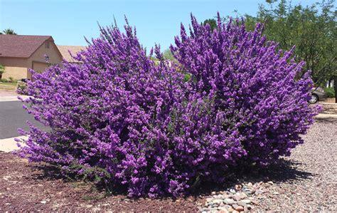 sun l for plants leucophyllum laevigatum chihuahuan rain sage blue texas