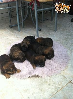 shih tzu x dachshund lovely shih tzu x dachshund puppies for sale coalville leicestershire pets4homes
