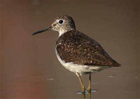 the digiscoper saving shorebird breeding grounds