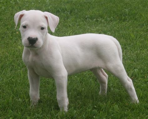 Finding a Dogo Argentino Puppy - CaninePlanet.net