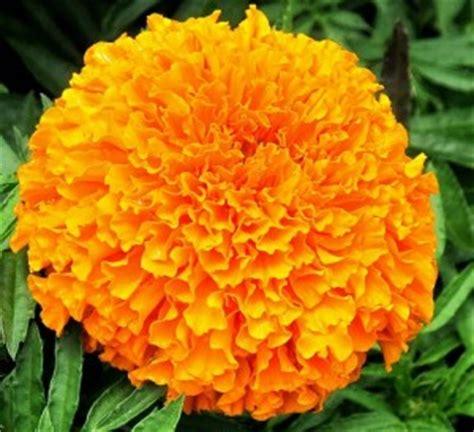 Benih Bunga Marigold T1310 benih marigold crackerjack