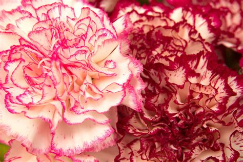 what do different colours mean carnation flower meaning flower meaning