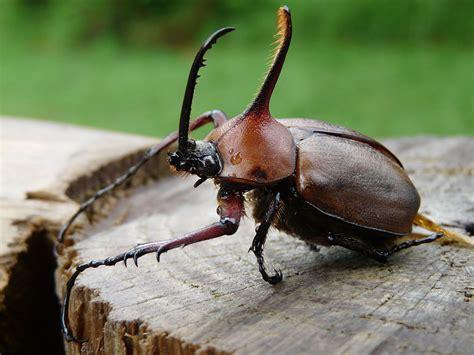 imagenes del animal weta escarabajo rinoceronte wikipedia la enciclopedia libre