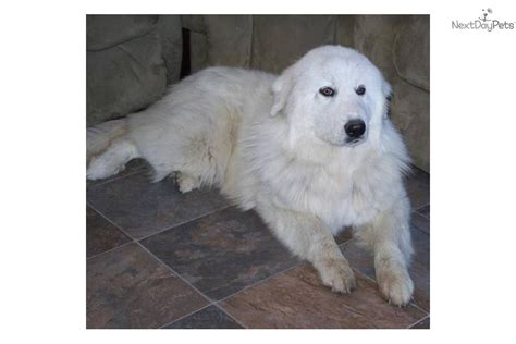 golden retriever pyrenees mix for sale great pyrenees golden retriever mix for sale breeds picture