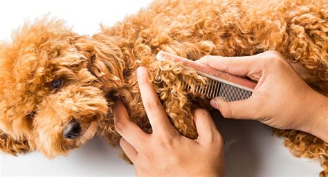how to groom a matted poodle poodle grooming a complete guide to how to groom a poodle