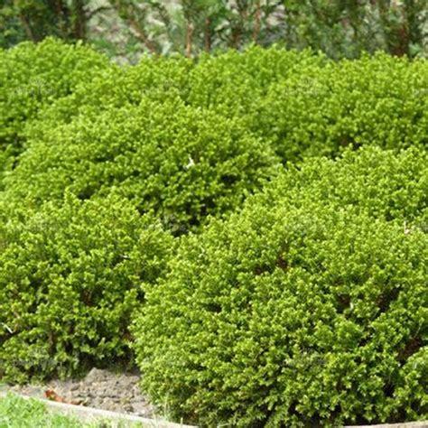 strauch garten winterhart 3 x hebe green mound evergreen shrub hardy garden plant
